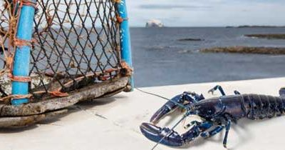 The Firth of Forth Lobster Hatchery